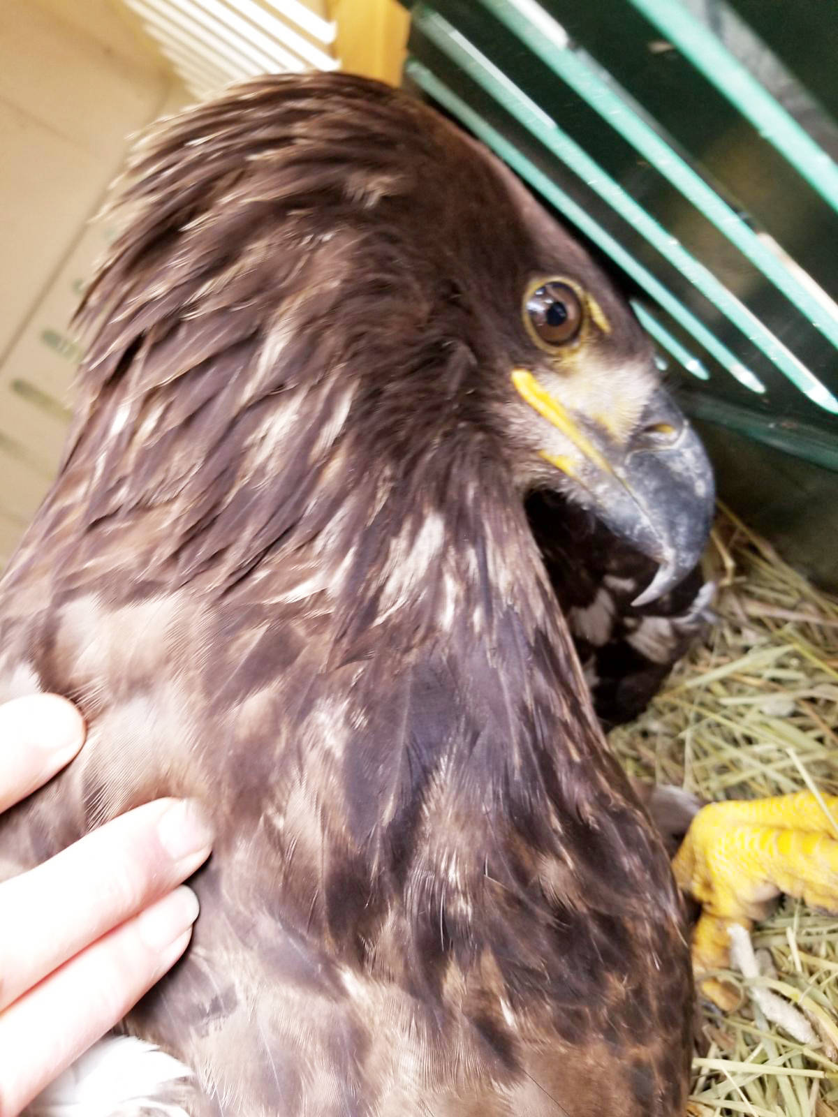 Sue Burton photo                                A juvenile eagle rescued at Puntzi tanker base is recuperating at the Orphaned Rescue Society facility in Delta.